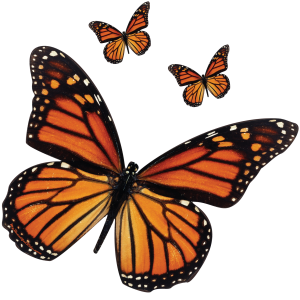 Monarch Butterfly Decal for cars trucks